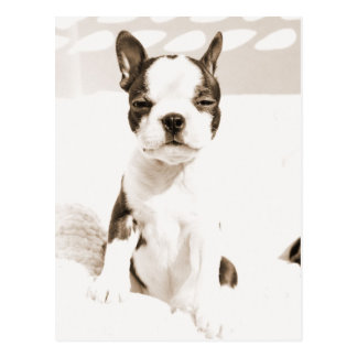 Boston Terrier Puppy 2 Postcard
