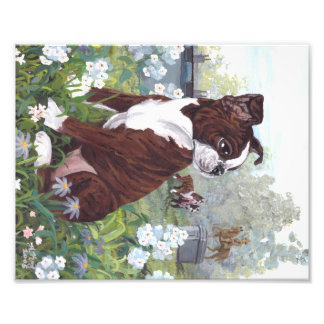 Boston Terrier Puppy Dreamer Reproduction Print Photo Print