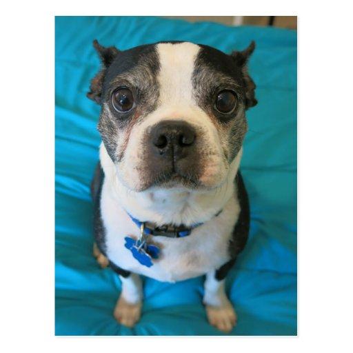 Boston Terrier que se sienta en una cama Postales