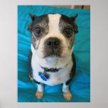 Boston Terrier que se sienta en una cama Poster