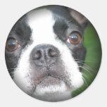 Boston Terrier se descoloró alrededor de los pegat