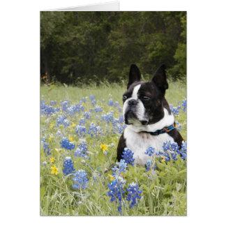 Boston Terrier sitting in a field of Blue Bonnets Card