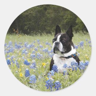 Boston Terrier sitting in a field of Blue Bonnets Classic Round Sticker