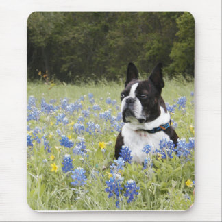 Boston Terrier sitting in a field of Blue Bonnets Mouse Pad