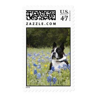 Boston Terrier sitting in a field of Blue Bonnets Postage
