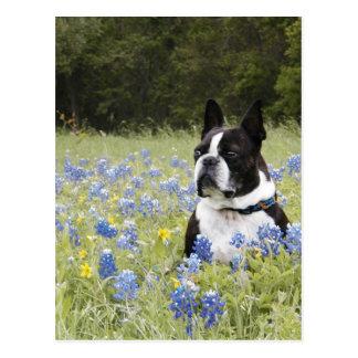 Boston Terrier sitting in a field of Blue Bonnets Postcard