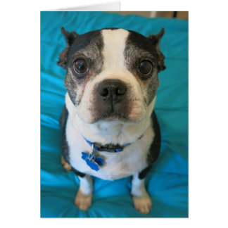 Boston Terrier sitting on a bed Greeting Cards