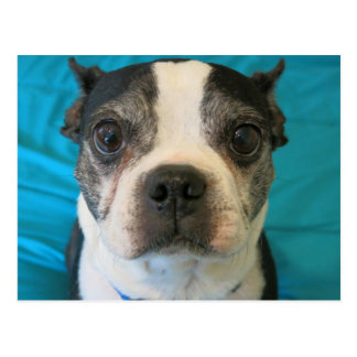 Boston Terrier sitting on a bed Postcard