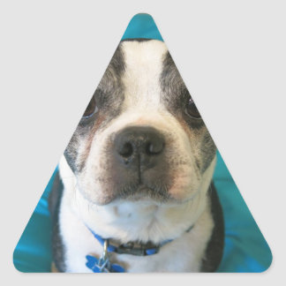 Boston Terrier sitting on a bed Triangle Sticker