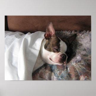 Boston Terrier Snoozing Poster