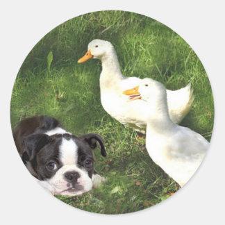Boston Terrier Sticker Ducks