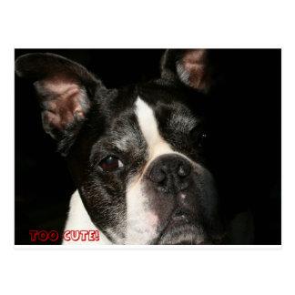 Boston Terrier:  Too Cute Postcard
