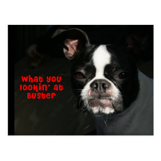 Boston Terrier:  What you lookin' at Buster! Postcard