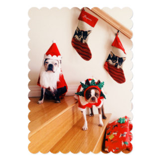 Boston terriers in Christmas costumes 5x7 Paper Invitation Card