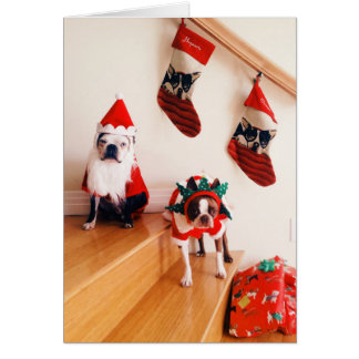 Boston terriers in Christmas costumes Card