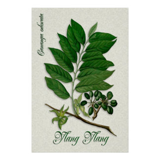 Botanical aromatherapy illustration of Ylang Ylang Poster