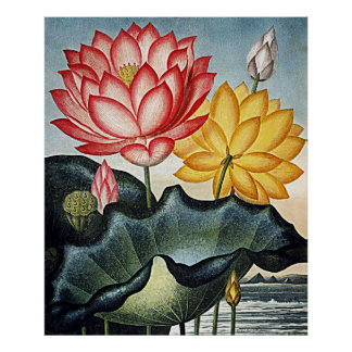 Botanical Art Temple Of Flora Egyptian Water Lily Poster