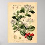 Botanical - Hawthorn Crataegus oxyacantha monogyna Poster