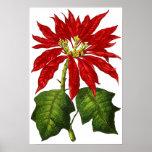 Botanical Poinsettia Print