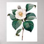 Botanical PREMIUM QUALITY print of camellia