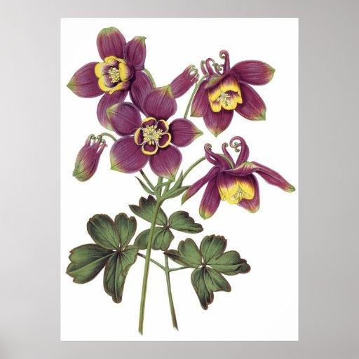 Botanical PREMIUM QUALITY print of columbines