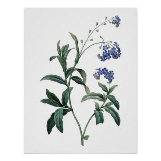 Botanical Premium Quality Print Of Forget-me-not at Zazzle