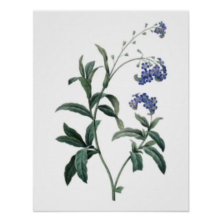Botanical PREMIUM QUALITY print of forget-me-not
