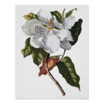 Botanical PREMIUM QUALITY print of magnolia