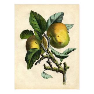 Botanical Print - Apple Postcard