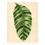 Botanical Print - Banana (musa vittata) Postcard