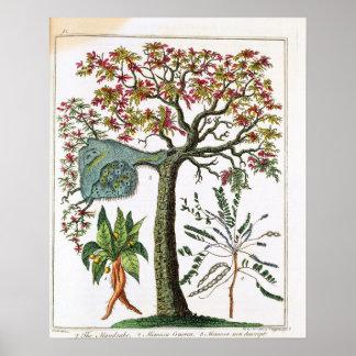 Botanical print from 18th century