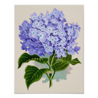 Botanical Print - Hydrangea