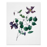 Botanical print of CLEMATIS original by Redoute