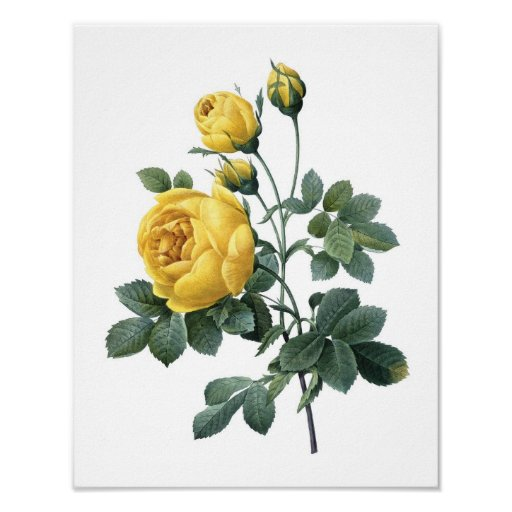 Botanical print of YELLOW ROSE by Redoute