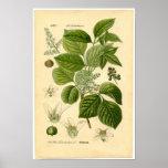 Botanical Print - Poison Ivy (Toxicodendron)