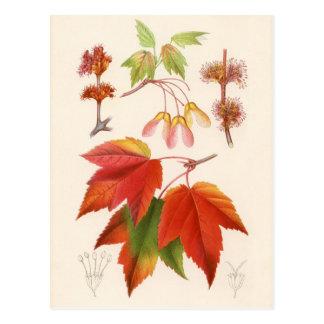 Botanical Print - Red Maple (acer rubrum) Postcard