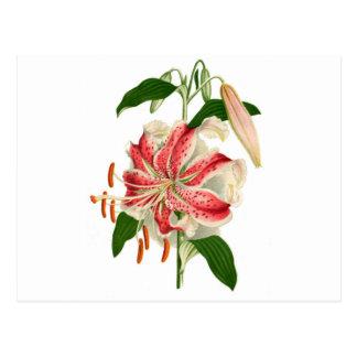 Botanical Print Red Tiger Lily lancifolium rubrum Postcard