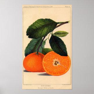 Botanical Print - Satsuma