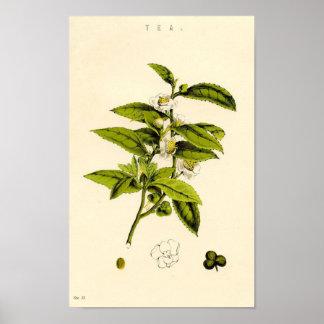 Botanical Print - Tea
