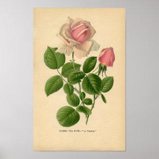 Botanical Print - Tea Rose