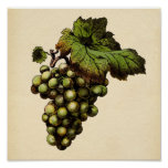 Botanical Print - White Grape