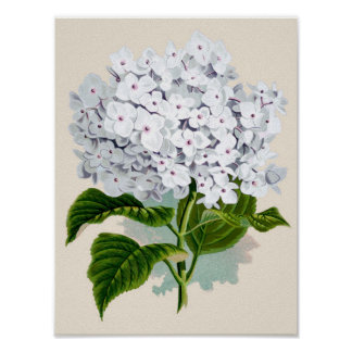 Botanical Print - White Hydrangea