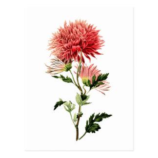 Botanical Red Bachelor Button Postcard