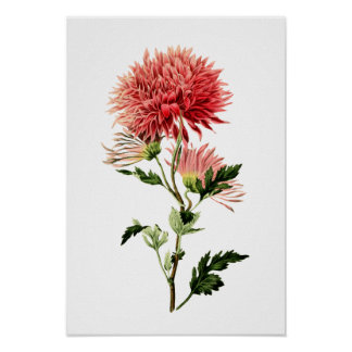 Botanical Red Bachelor Button Poster