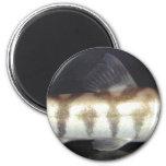 Botia Almorhae Magnet