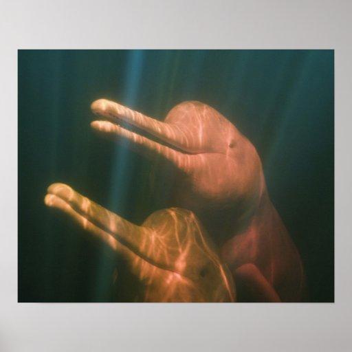 Boto, o delfín del río Amazonas (geoffrensis de In Poster