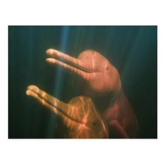 Boto, o delfín del río Amazonas (geoffrensis de In Tarjeta Postal