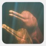Boto, o delfín del río Amazonas (geoffrensis de Pegatina Cuadrada