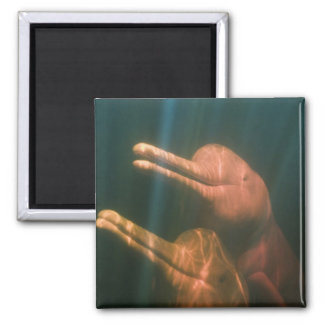 Boto, or Amazon River Dolphin (Inia geoffrensis) 2 Inch Square Magnet