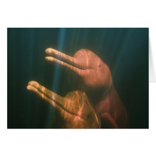 Boto, or Amazon River Dolphin (Inia geoffrensis) Card